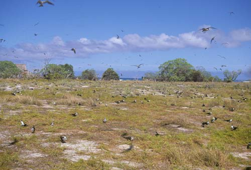 Kiritimati_AKK_Sooty_Tern_Colony